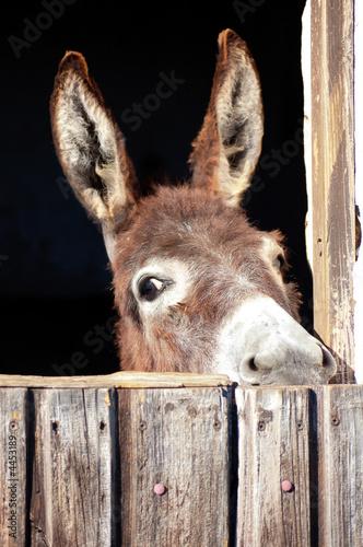 Poster Ezel Neugieriger Esel