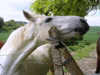 fier cheval