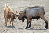 Two goats fighting
