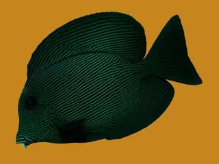 Black Surgeonfish on Gold