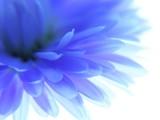 Fototapeta jaskier - kwiat - Kwiat