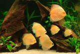 Discus fish - Symphysodon aequifasciatus in aquarium poster