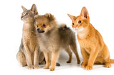 Kittens of Abyssinian breed and the puppy of the spitz-dog poster