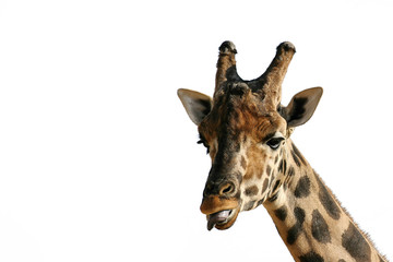 Isolated giraffe head
