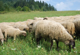 Sheeps on pasture poster