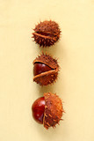 conkers on sepia background