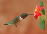 Ruby-throated Hummingbird Feeding on Lantanas poster