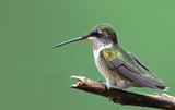 Perched Hummingbird poster