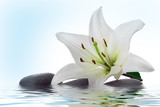 madonna lily and spa stone  in water - 4504900