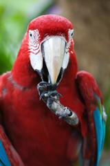 SWcarlet Macaw