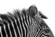Quadro Gorgeous Zebra!