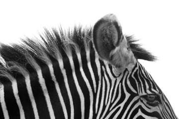 Gorgeous Zebra!