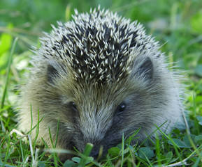 Autumn hedgehog.