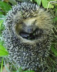 Hidden hedgehog eating grass.