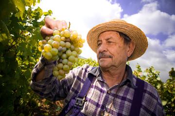 Vintner examining grapes