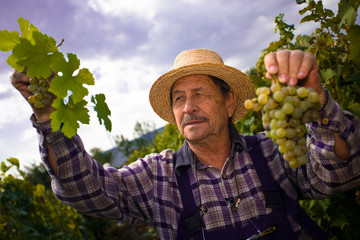 Vintner examining grapes