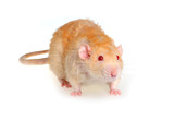 Rat on a white background poster