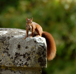 écureuil une noix dans la bouche