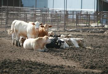Cattle Lot