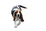 chien basset hound poster