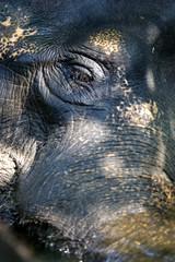 Asaian Elephant