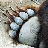 A Grizzly Bear Paw poster