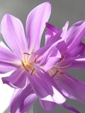colchicum toxic lila  flowers poster