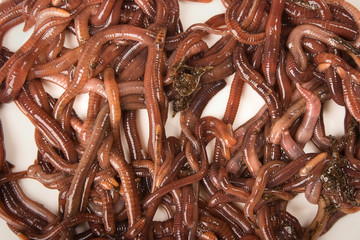 Worms on White Background