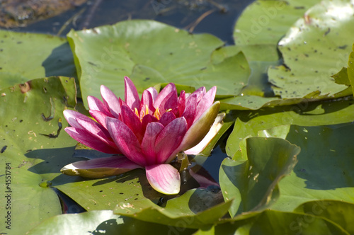 Pink waterlily Lotus flower