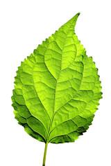 Leaf isolated on White