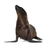 sea-lion pup (3 months) poster