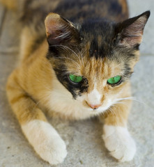Macro green eyed cat