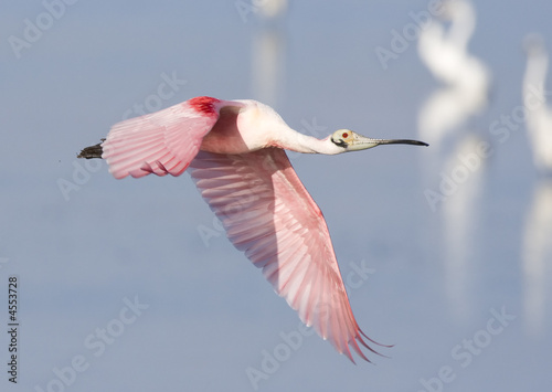 Roseate Spoonbill in flight.