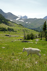 Mountain Goats C
