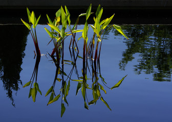 Water Grasses A