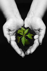 hands holding a newly born plant , hands desaturated
