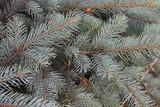 Branches of a blue spruce poster
