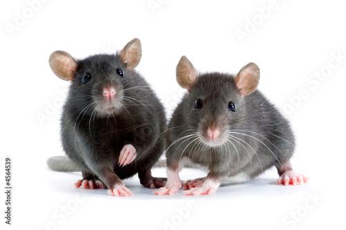 rats - 4564539