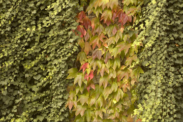 Green ivy & red vine