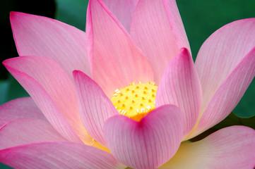 Closeup of blooming lotus flower