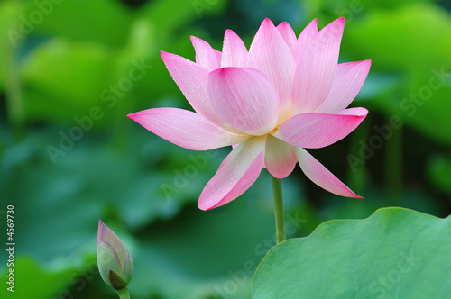 Aluminium Lotusbloem Lotus flower and bud