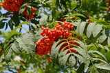 Ashberry, Sorbus aucuparia