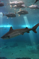Tiger Shark and Giant Trevelly fish