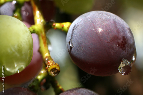 the grape