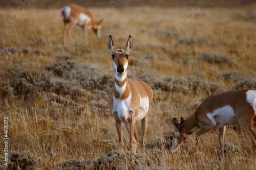 Fotobehang Antilope Pronghorn Antelope Grazing