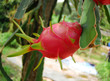 red dragon fruit in the gardens