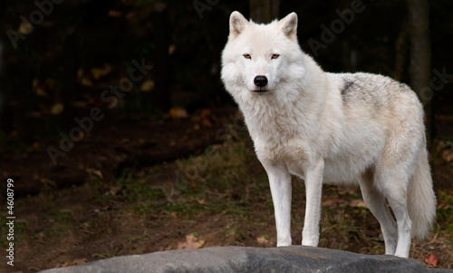 Tuinposter Wolf Arctic Wolf Looking at the Camera
