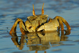Ghost crab (Ocypode spp.) poster