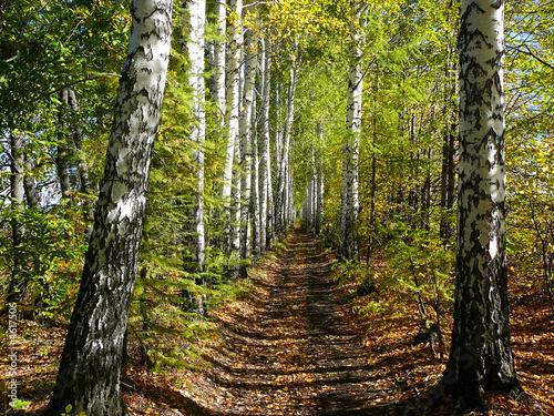 birch woods alley - 4617506