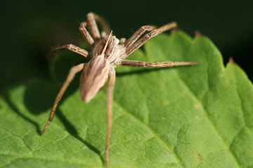 Close-up of spider Pisaura mirabilis